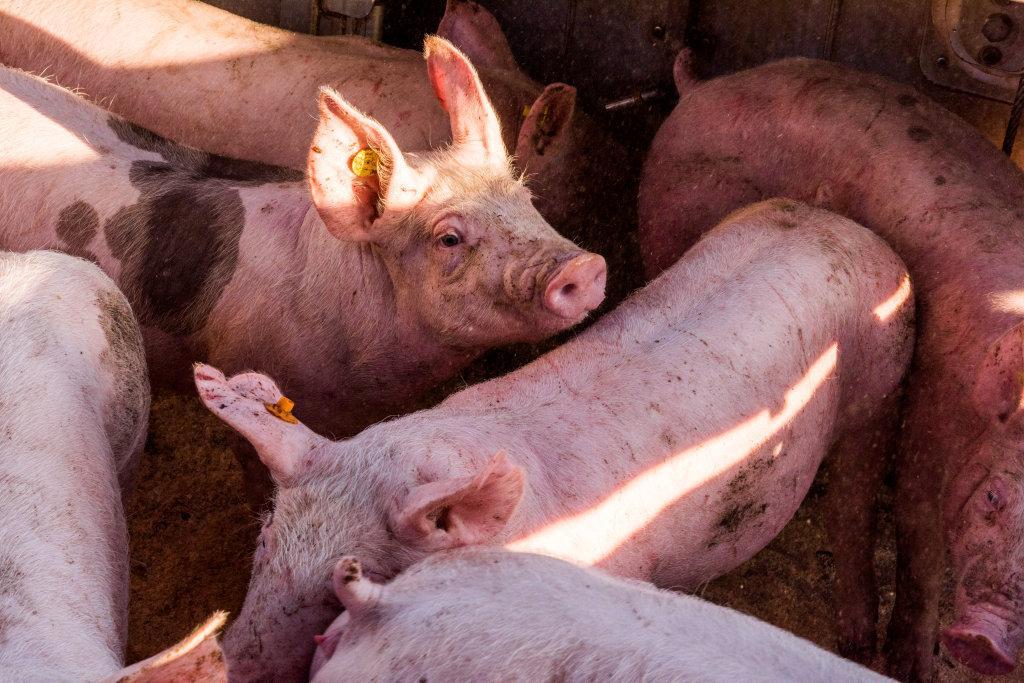 Prijsafspraken voor vleesvarkens, vleesbiggen en vleeszeugen